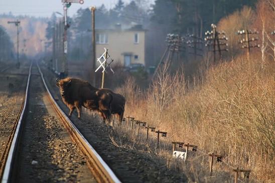 Zdjęcie przedstawia żubry stojące przy torach kolejowych